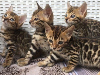 bengala-kitten